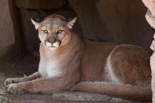 Cougar 8068 by robbobert