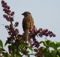 Flowered White Crowned Sparrow by wolfwings1