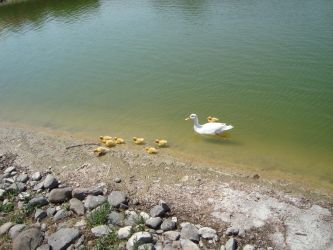 Duck family by shadowtheater