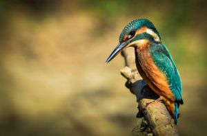 Alcedo atthis by NinaChloris