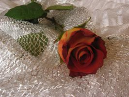 Rose_on_white_11 by Hermit-stock
