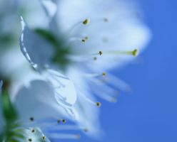 Blossom in Blue by whimsicalworks