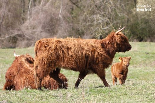 Highland Cow II by blizzard2006