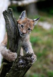 The Lynx Cub by bluekatrock