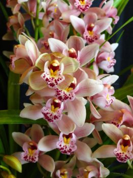 blushing cymbidum orchids by Foozma73