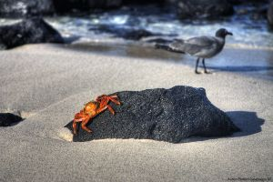 Sally Light Foot Crab HDR by photoboy1002001
