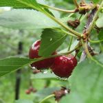 Rain drops. Cherries by mirator