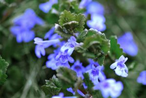 Ground Ivy by cognisant