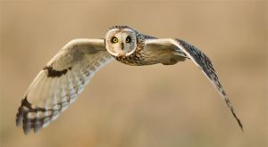 Oh it's you again !! - Short-eared owl by Jamie-MacArthur