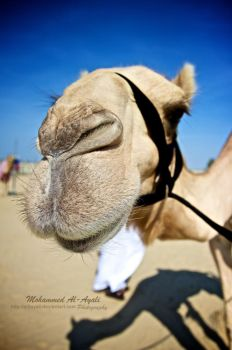 Camel by al3ayali