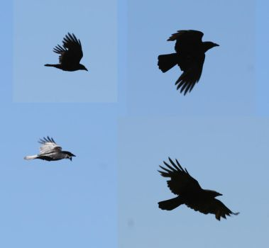 bird 74: crows by cyborgsuzystock