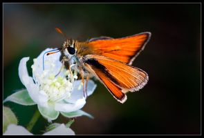 High Contrast Skipper by Wivelrod