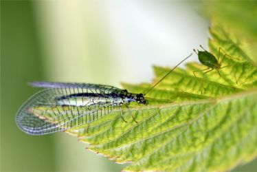 0447 Lacewing Fly (and a friend) by RealMantis