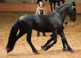 STOCK - 2014 Andalusian Nationals-218 by fillyrox