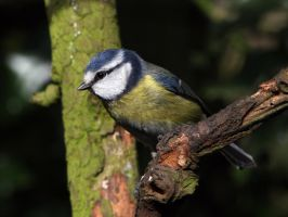 Blue Tit 5 by cycoze