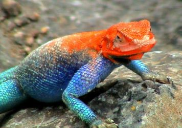 Colourful lizard by youngie