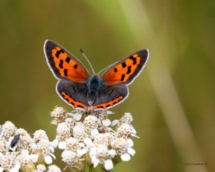 American Copper Butterfly  II by natureguy