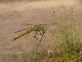 Dragonfly by Madame-Mabsoot