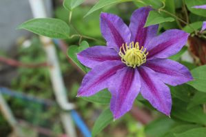 Purple Clematis by Kimicat1