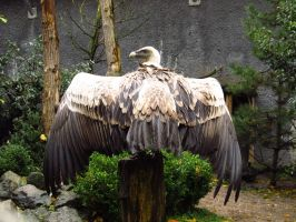 Griffon Vulture - Wings Stock2 by xCrystals