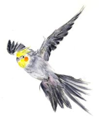 Cockatiel in Flight by Perelandri