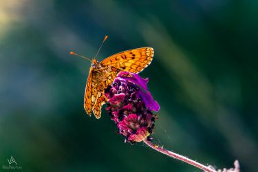 Butterfly Melitaea Phoebe #3 by VitoDesArts
