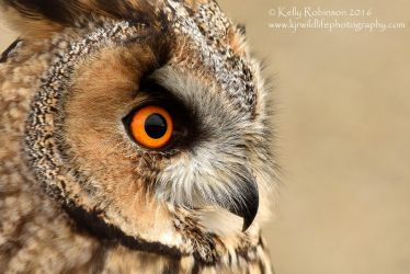 Long Eared Owl Up Close by Shadow-and-Flame-86