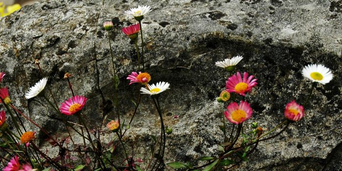 Stone Daisies by Earth-Hart