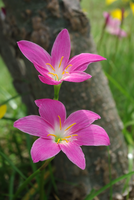 Lovely Lilies by RainyB