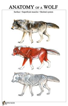 Anatomy of a Wolf by oxpecker