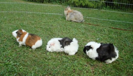 Fritzi, Tammy + Fanny 2 (quinea pigs) - stock by Calitha-Lena
