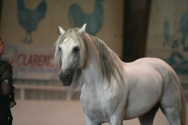 Andalusian Stallion3 by reachthestars-stock