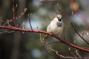 Sparrow by sulevlange