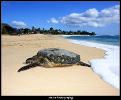 Honu In Paradise by manaphoto