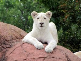 White Lion by kureejiilea