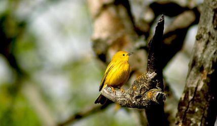 Yellow Warbler 01 by JJJINK