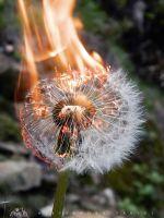 Dandelion On Fire by AlessandraPlasterpad