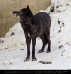 Gray Wolf 4 by SalsolaStock