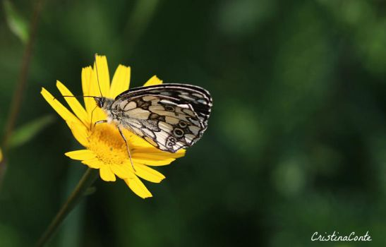 Papillon 3 by Cristinaconte