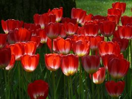 Tulips5 by Otoff