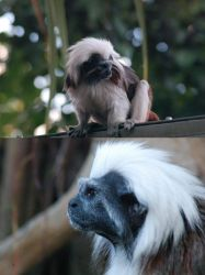 COTTONTOP TAMARIN by collideral