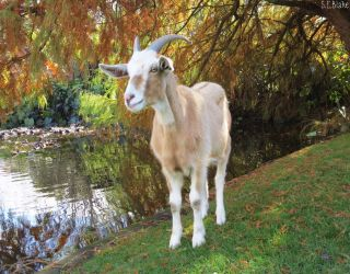 Russell the goat by kiwipics