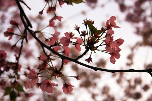 Cherry blossom branch by willowswhisp