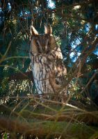 Long-eared owl by vertiser