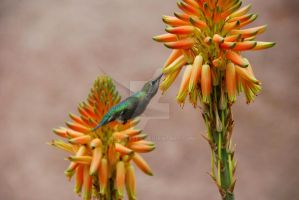 Thirsty Hummingbird by oddjester