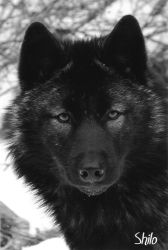 Shilo in Gray Scale by ShadowOfMystery