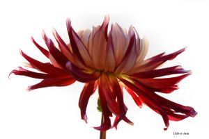 Sunday Dahlia 037 by Deb-e-ann