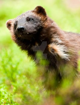 Wolverine5 by PictureByPali