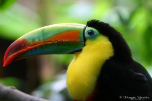Keel-Billed Toucan by MorganeS-Photographe