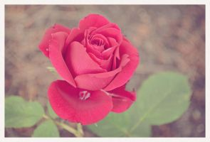 just another rose picture by pungen